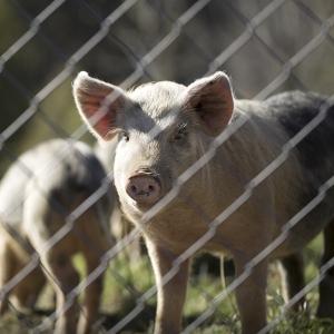Een starend varken